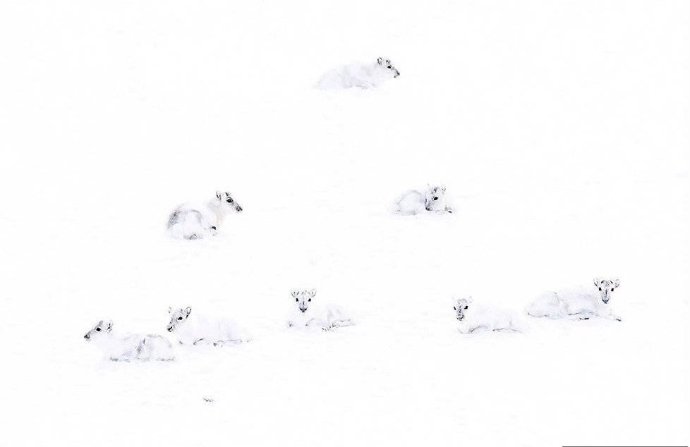 un grupo de renos árticos blancos en la nieve