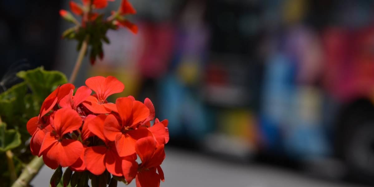 Más de cuatro mil geranios se colocarán en balcones de Quito el 14 de febrero