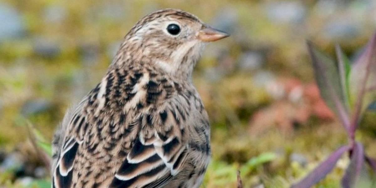 """La pequeña ave que practica el """"amor libre"""" y tiene la más prodigiosa vida sexual de su especie"""