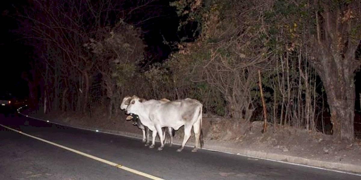 """Comuna ordena """"retiro"""" de vacas y caballos que representan un riesgo en carretera"""