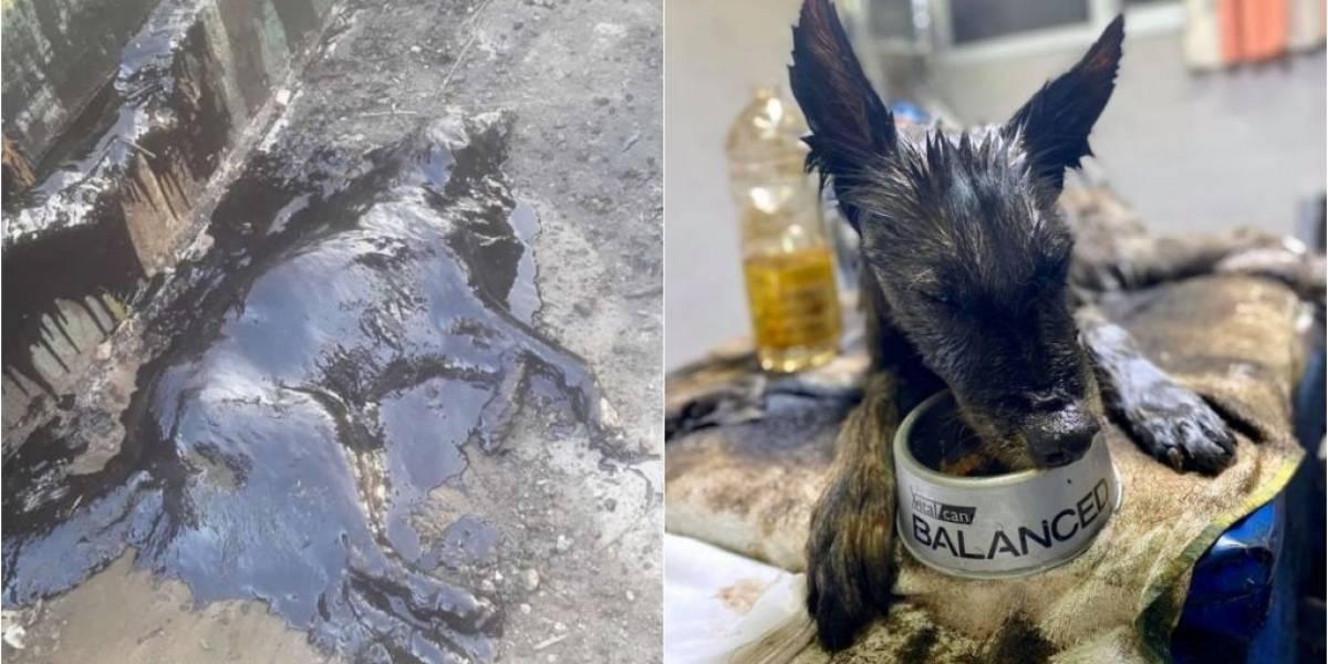 Após 9 horas de trabalho, operação de ONG salva cachorrinha coberta por piche