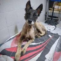resgate de cachorrinha coberta por piche