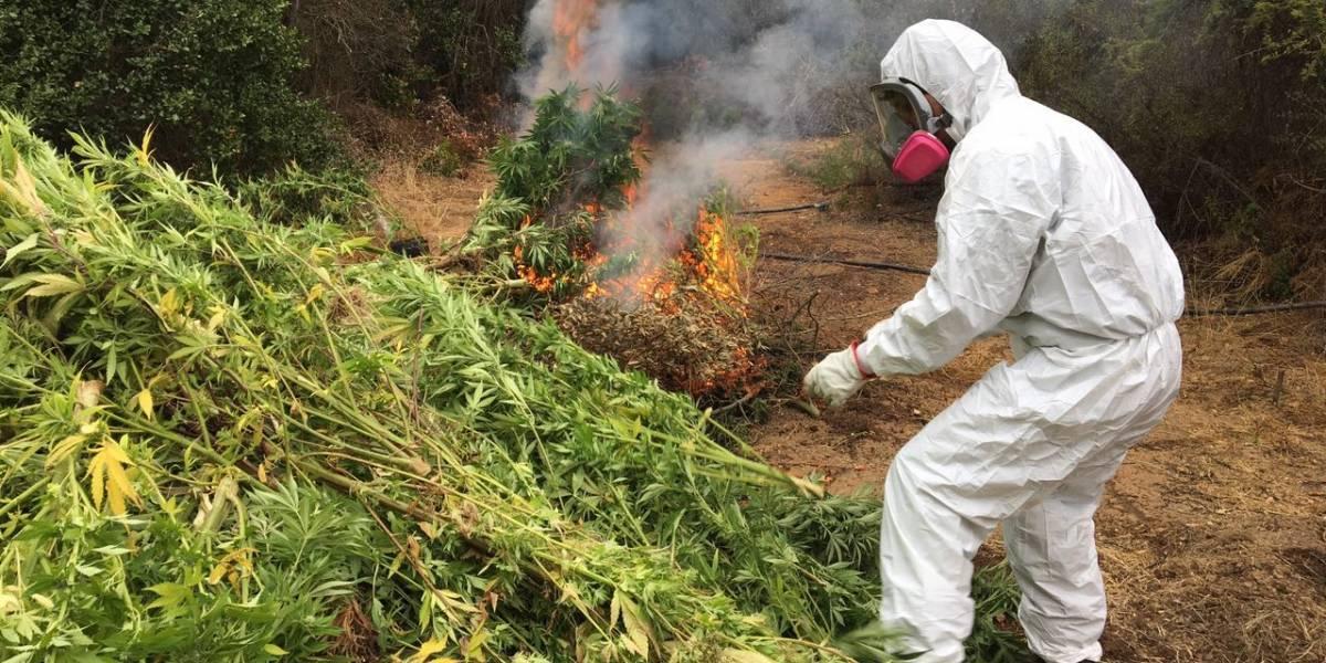 Que no se entere la Tía Nana: Descubren 3.640 plantas de marihuana escondidas entre los choclos de La Ligua