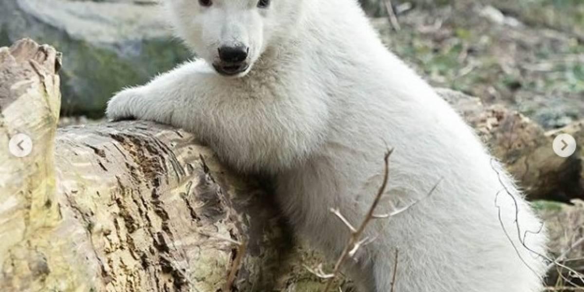 Oso polar recién nacido es la nueva estrella del zoológico de Viena