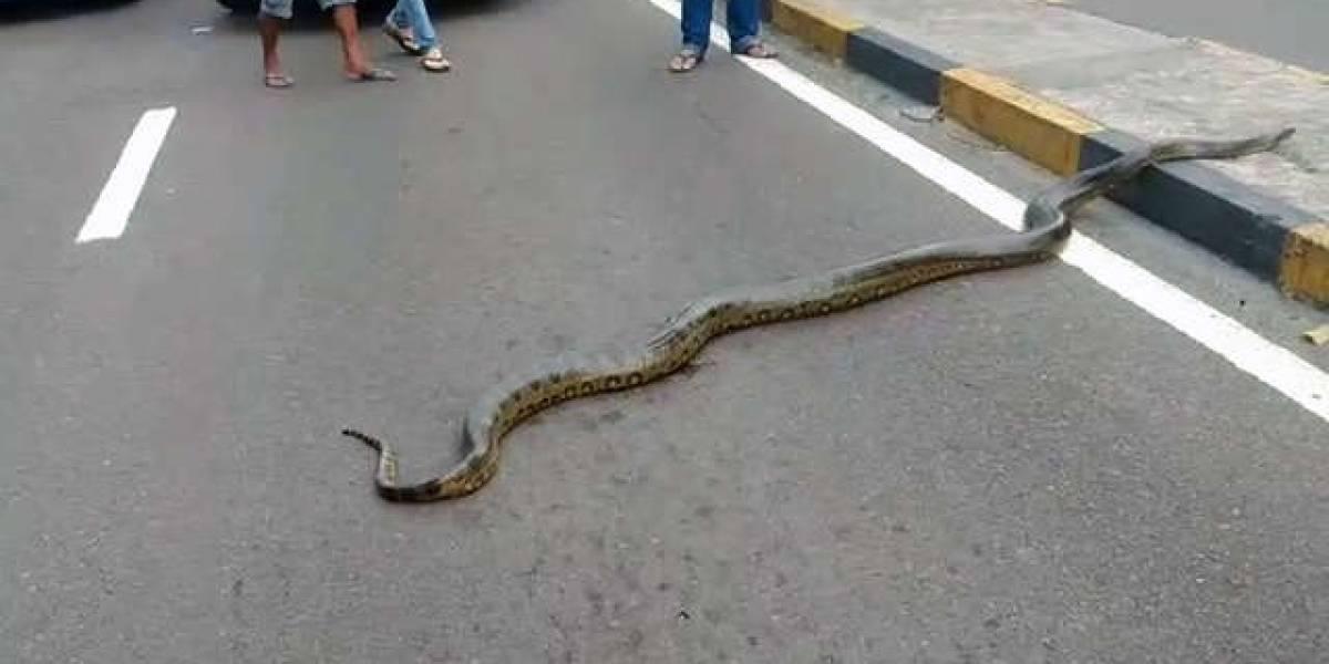 Homens ajudam cobra gigante a atravessar uma rua em Manaus
