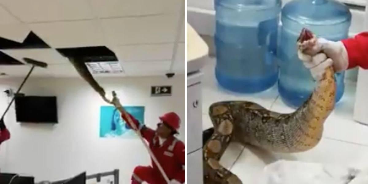 (VIDEO) Encuentran enorme serpiente en falso techo de una oficina