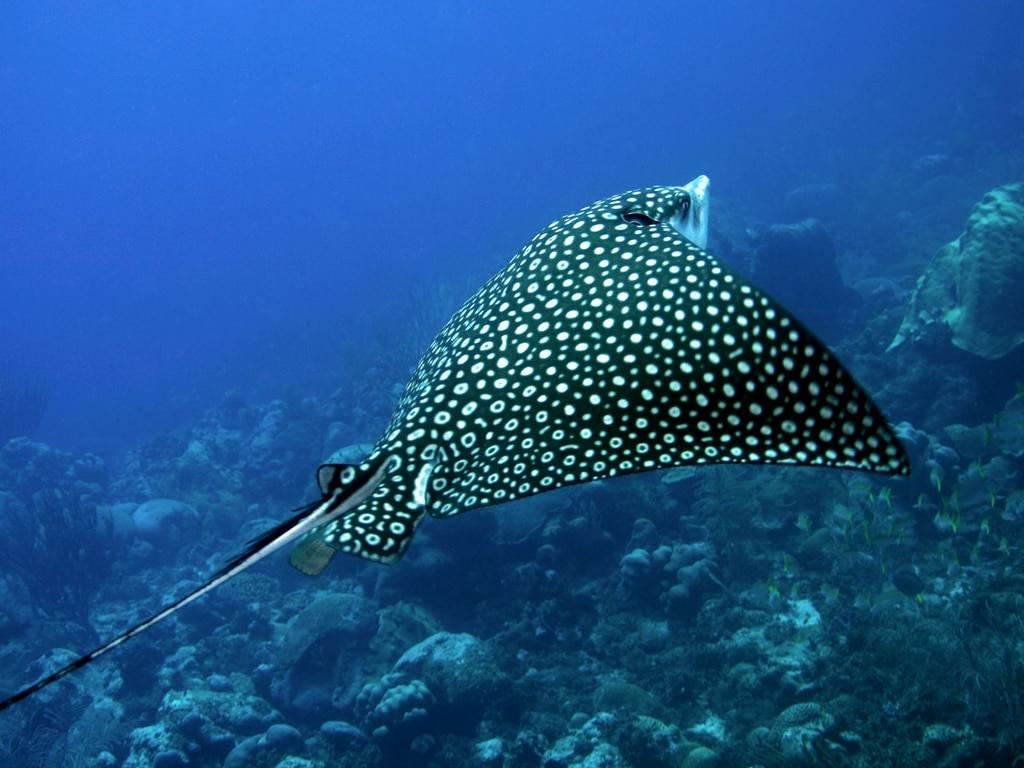 Mantarraya rosa: mira la única fotografía real de este insólito animal marino