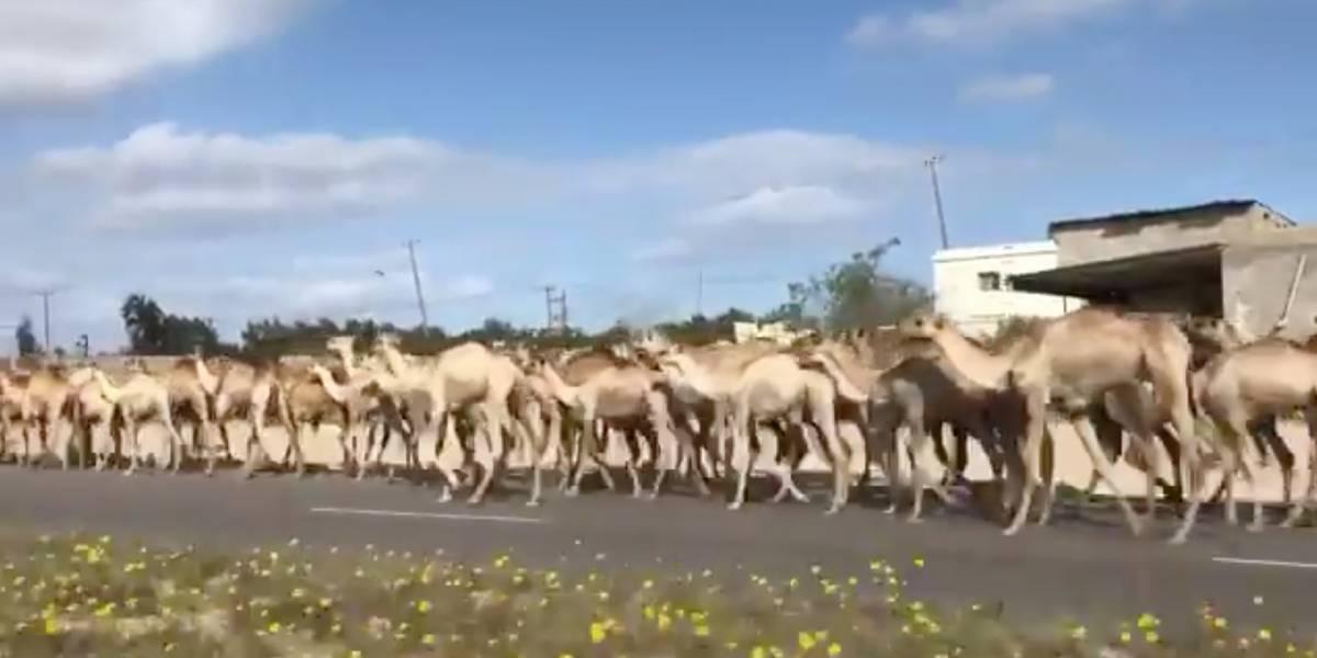 3 mil camelos desfilam pelas ruas e surpreendem população na capital da Líbia