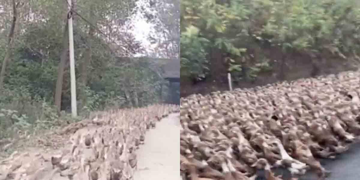 China monta 'exército' de 100 mil patos contra praga de gafanhotos