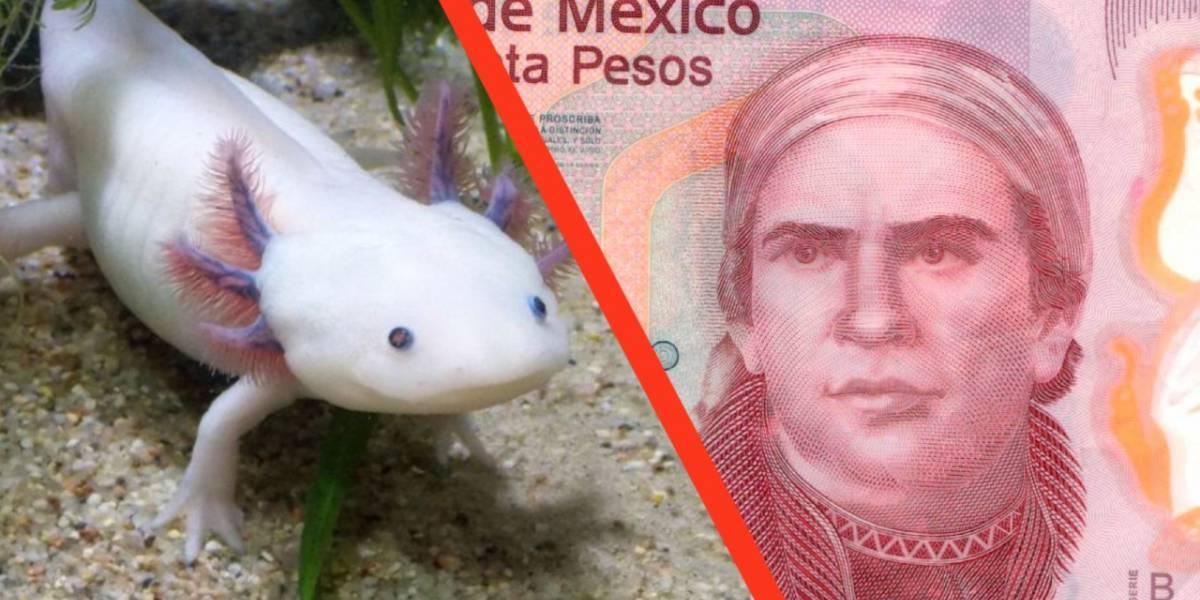 México: los billetes de 50 pesos tendrán a un ajolote como parte del diseño