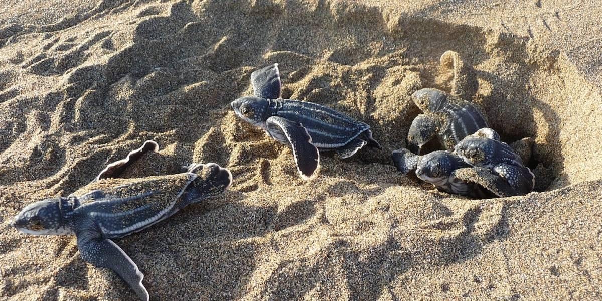 DRNA y grupos tortugueros dicen estar listos para proteger anidaje