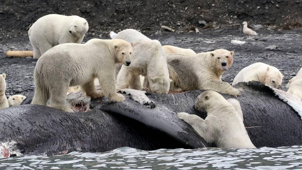 Cambio climático osos polares