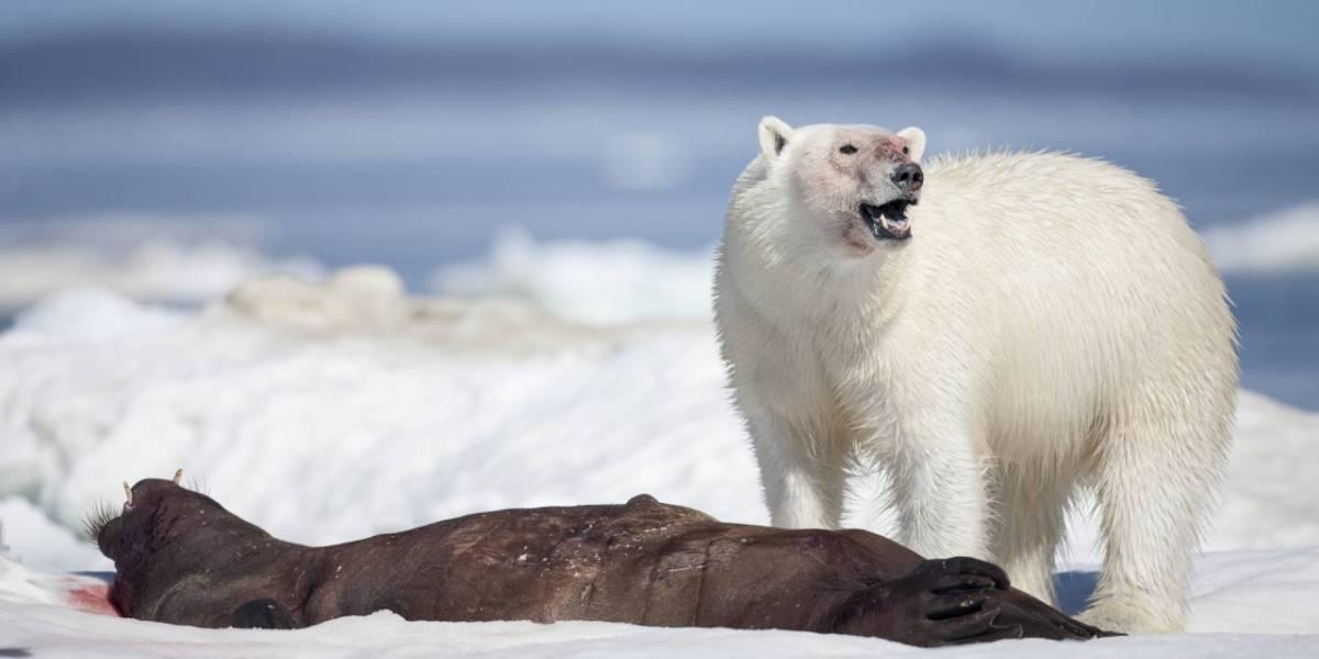 El cambio climático está volviendo caníbales a los osos polares