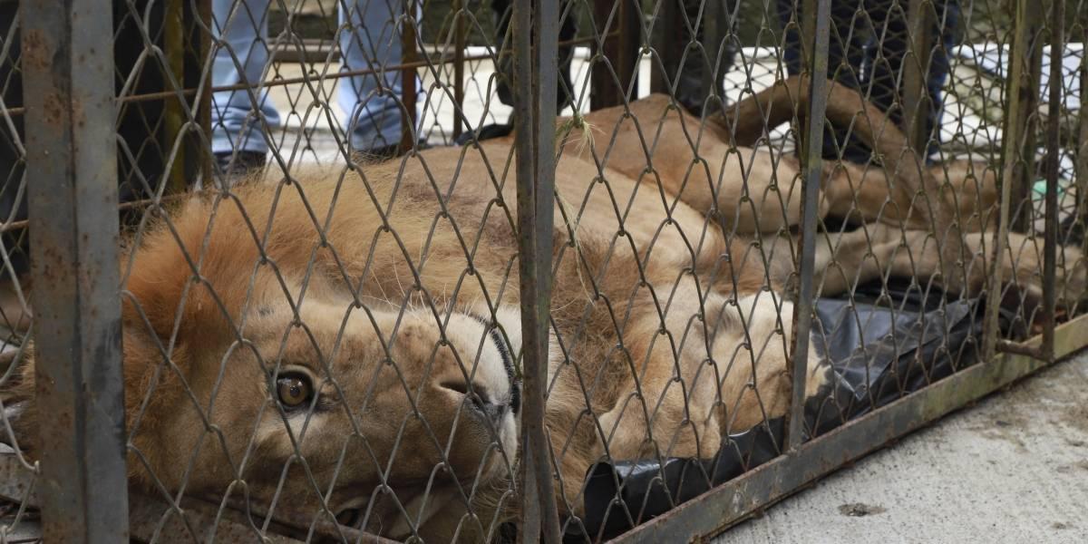 Buscan salvar a León Júpiter que casi muere por descuido en un zoológico