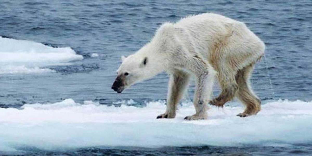 El desgarrador destino de los osos polares: Calentamiento global y destrucción de hábitat los lleva al canibalismo