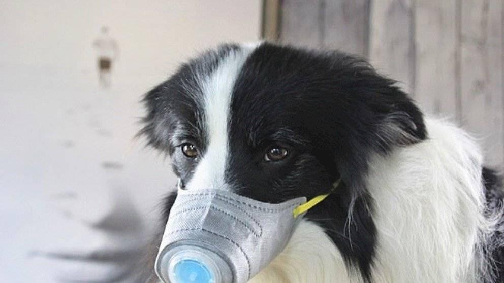 ¿Los humanos pueden contagiar de COVID-19 a los perros? Internet