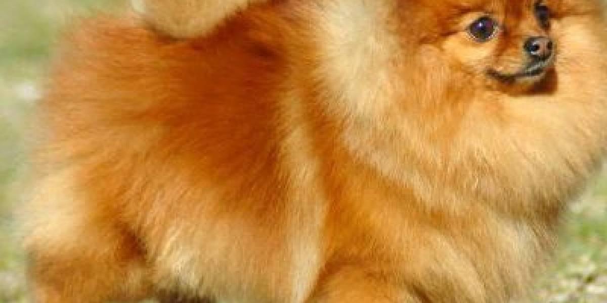 Detectan un perro con coronavirus y lo ponen en cuarentena en Hong Kong