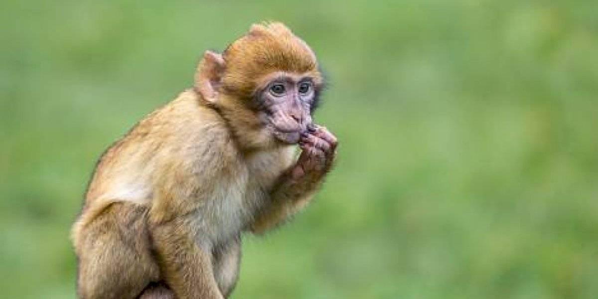 Maltrato animal: obligan a mono a levantar pesas para entretener a turistas