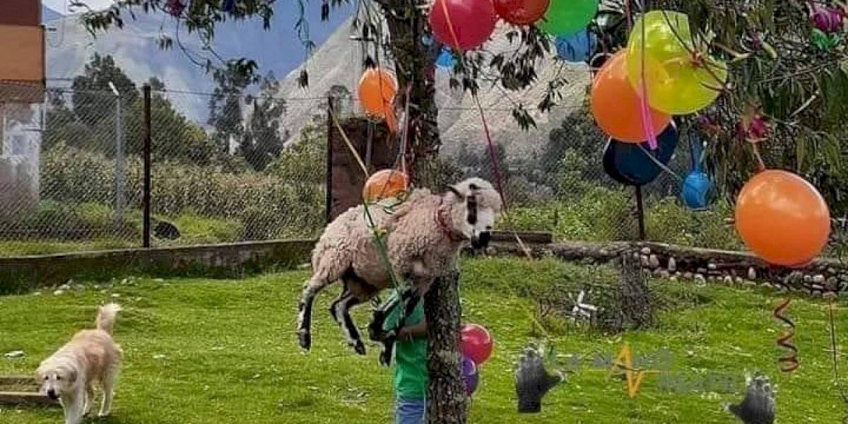 Hay que ser muy... : colgó una oveja viva en un árbol como regalo
