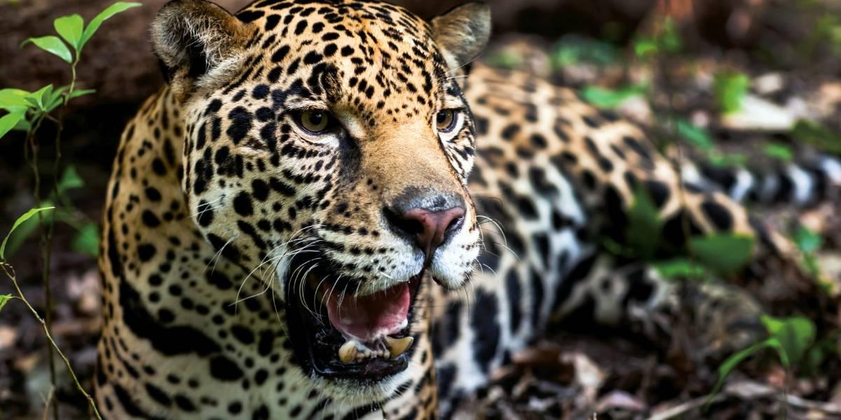 Conap hace un llamado a proteger las especies en el Día Mundial de la Vida Silvestre