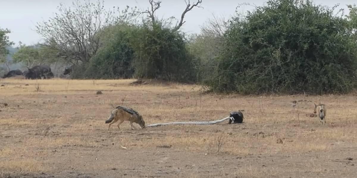 Batalha selvagem: Após ataque, vídeo impressionante registra píton sendo 'devorada' por animais que havia tentado capturar