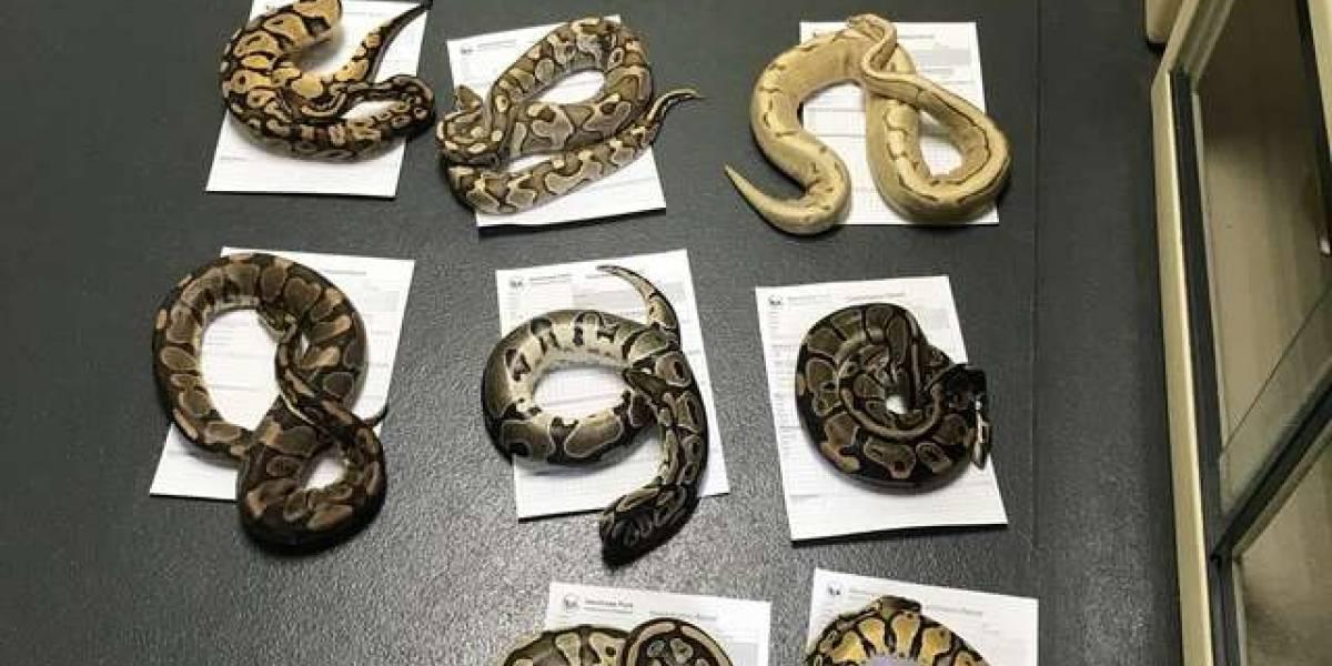 Grupo encontra fronhas de travesseiro repletas de cobras