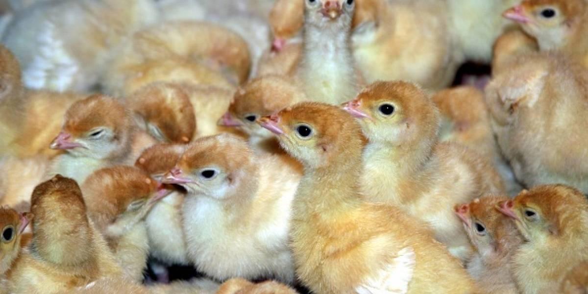 Casi 7 millones son triturados cada mes al nacer: el horrible destino de los pollitos macho en la industria avícola