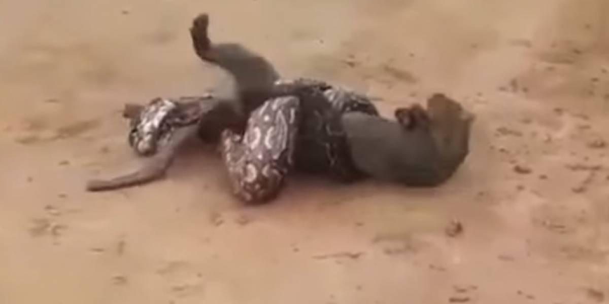 El video viral de la lucha a muerte entre un puma y una boa en Argentina