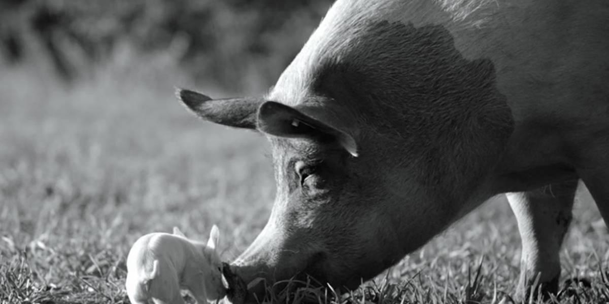 'Gunda', de Viktor Kossakovsky muestra cerdos, vacas y pollos inteligentes