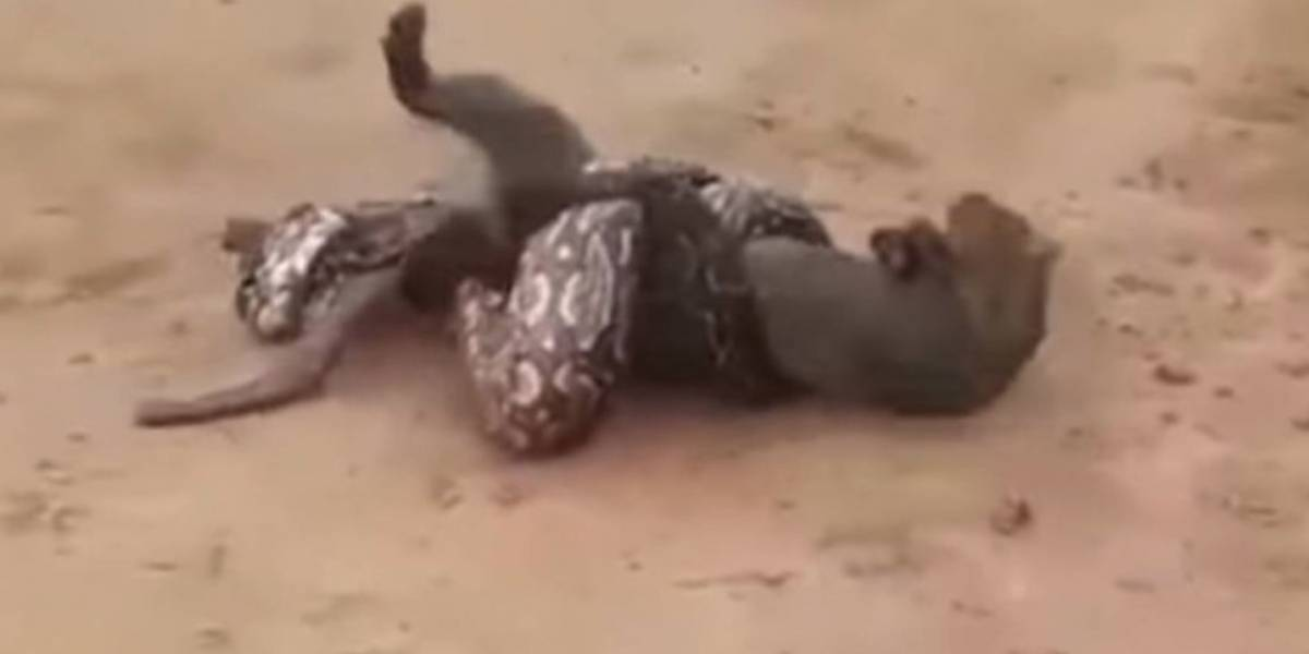 Vídeo chocante mostra luta mortal entre píton faminta e pequeno puma na Argentina