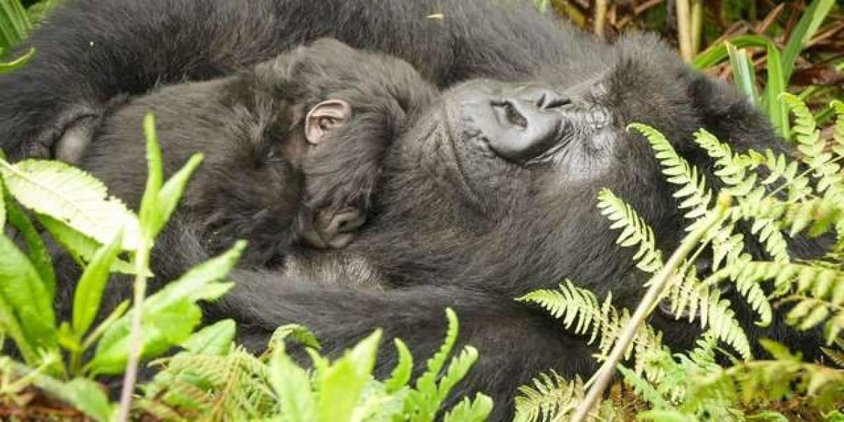 VÍDEO: Gorila fica de babá para uma mãe que precisa de um tempo sozinha