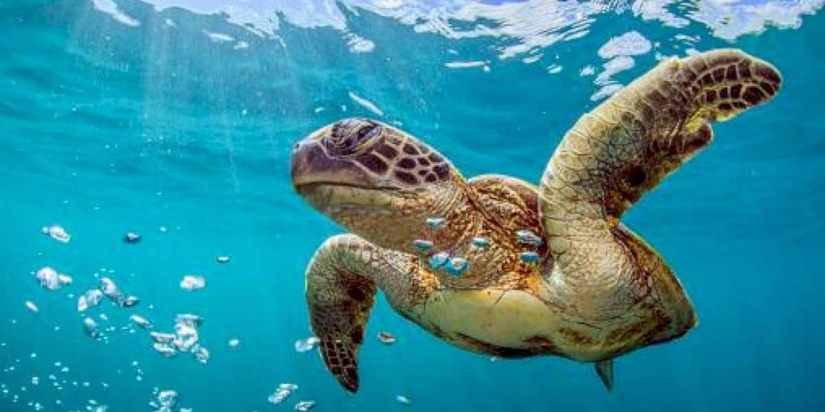 Prisión preventiva para sujeto que faenó a tortuga marina en peligro de extinción