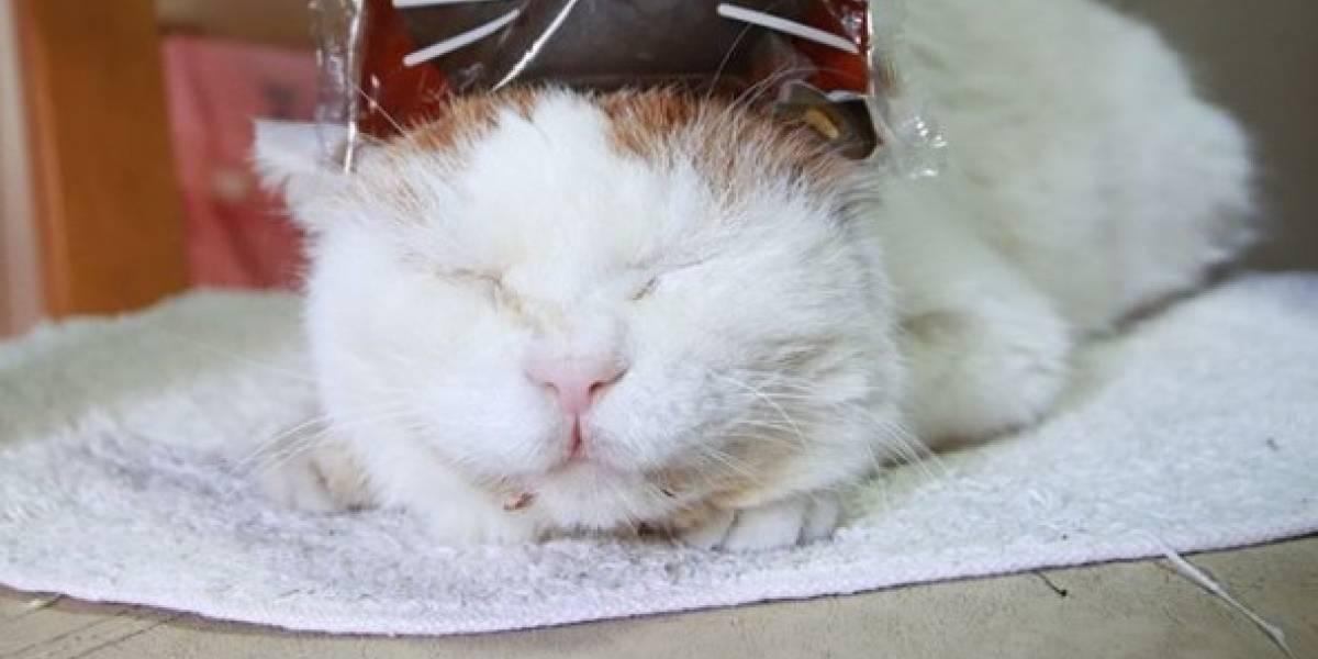 Falleció Shiro, el 'gato dormilón' con millones de seguidores en las redes sociales