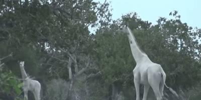 Mataron a la última jirafa hembra y su cría en Kenia. Solo queda un último ejemplar en el mundo