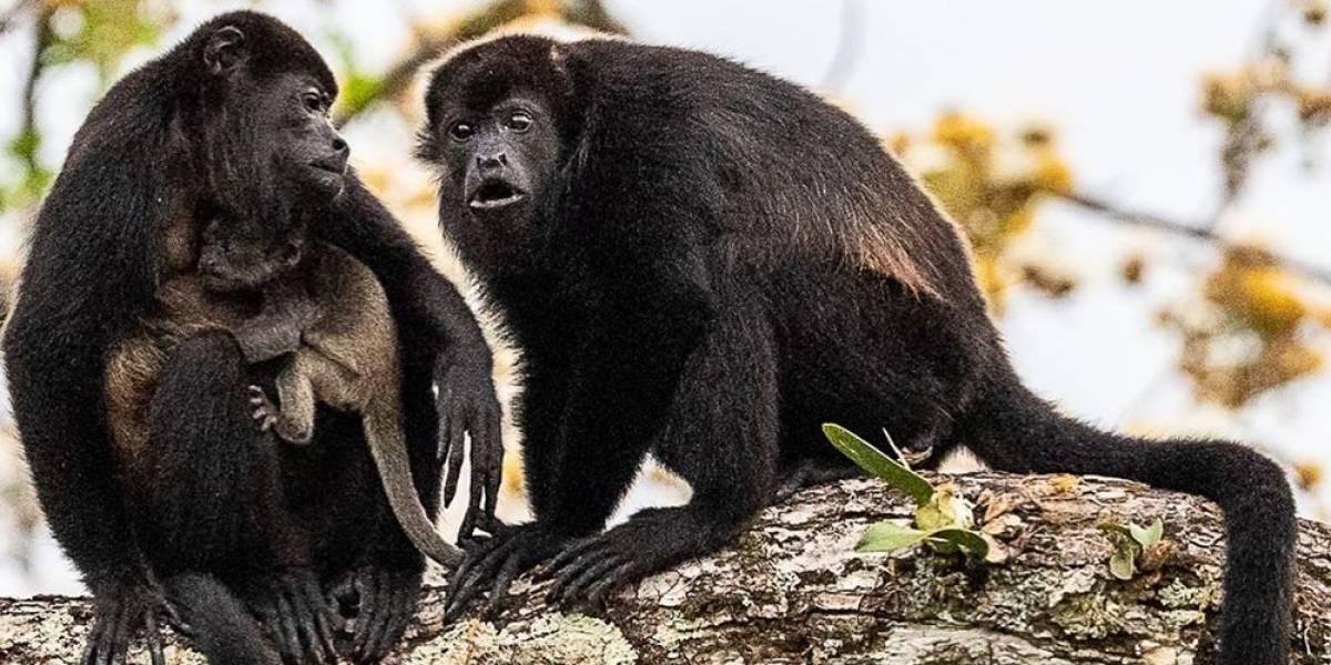 ¡Ingenio! Policías ahuyentan a manada de monos invasores vistiendo curioso disfraz