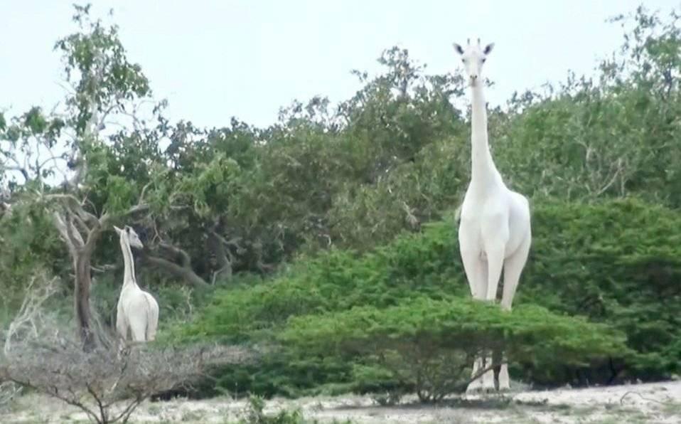 Mataron a la última jirafa hembra y su cría en Kenia. Solo queda un último ejemplar en el mundo Internet
