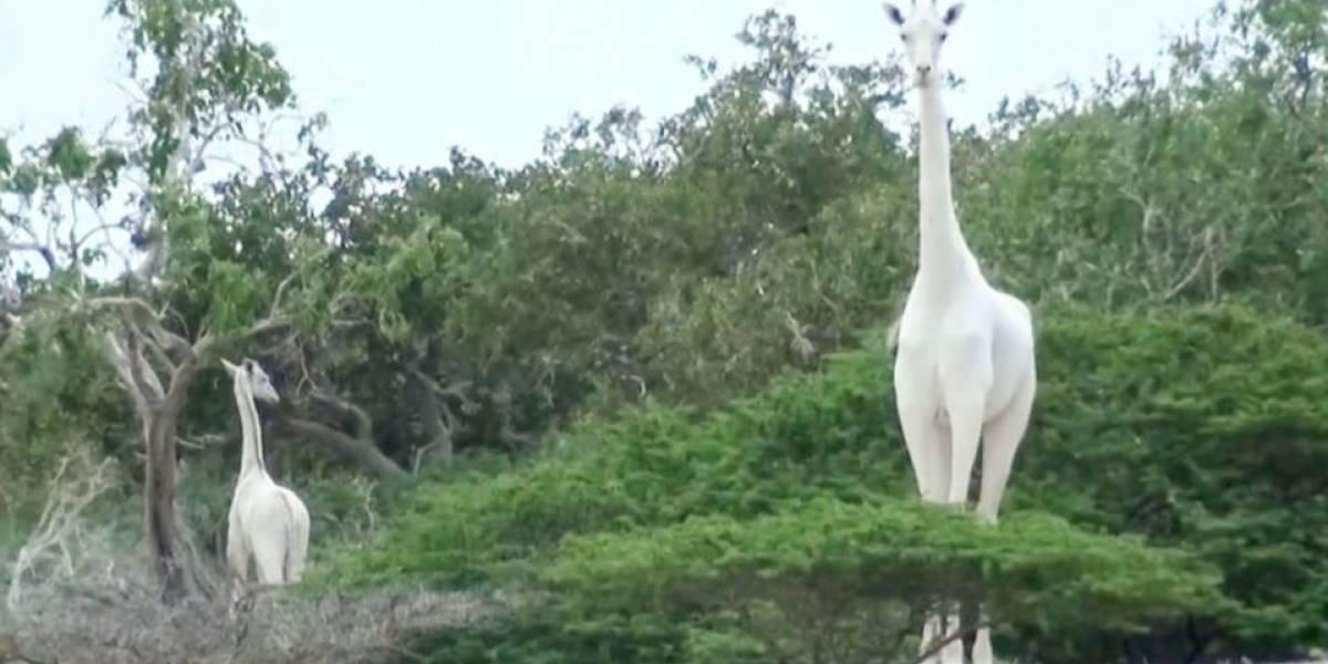 Mataron a la última jirafa blanca hembra y su cría en Kenia. Solo queda un último ejemplar en el mundo