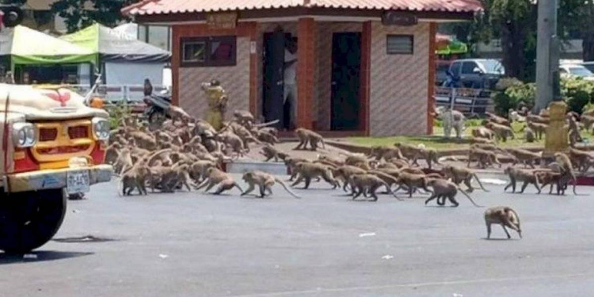 ¡Triste! Monos invaden calles de Tailandia luchando por comida