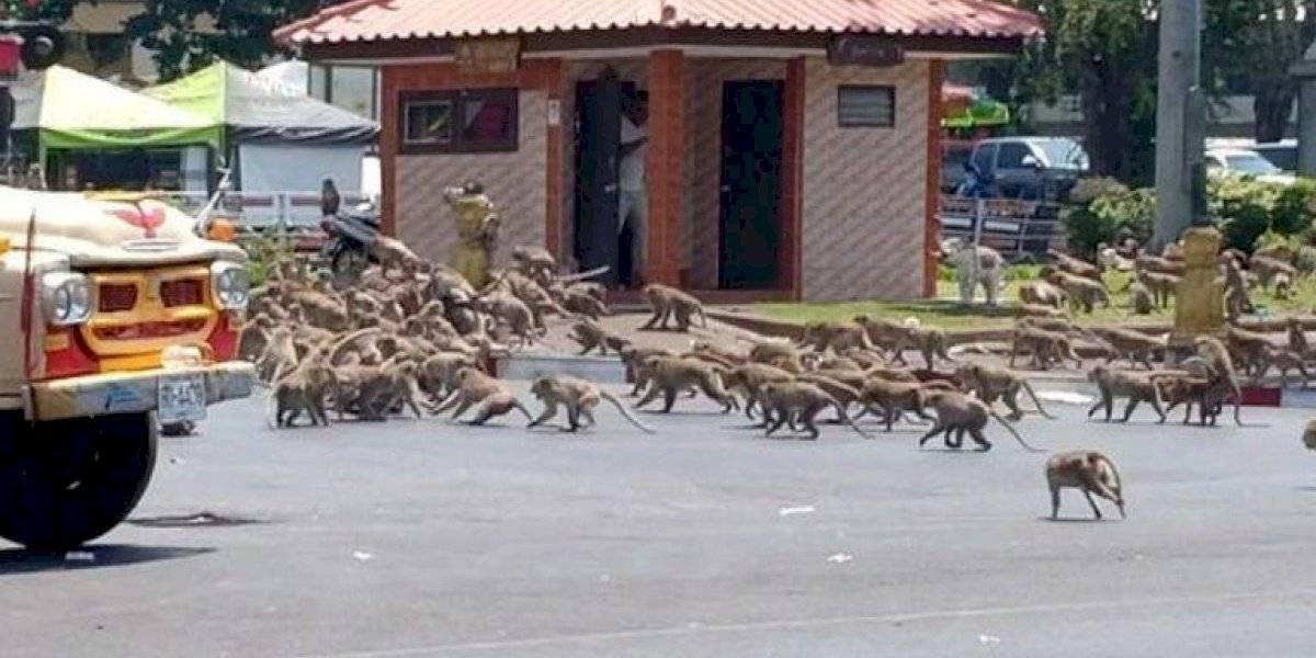 """Parece la """"guerra de los mundos"""": monos invaden calles de Tailandia luchando por comida"""