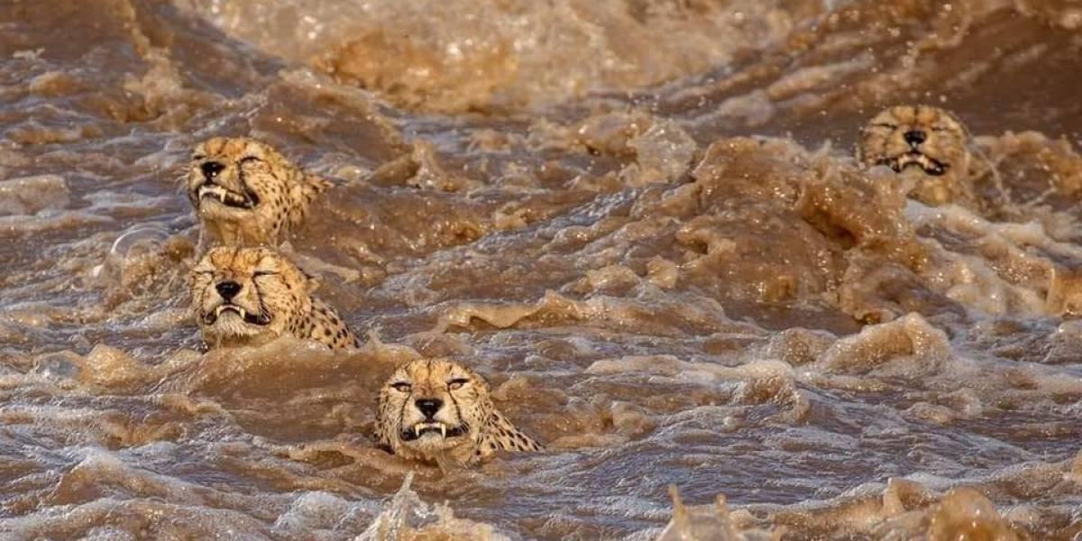 Fotógrafo registra momento em que família de guepardos atravessa o rio