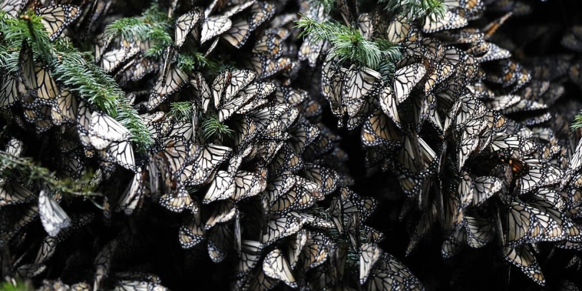 Las mariposas monarca en México disminuyen en 53%