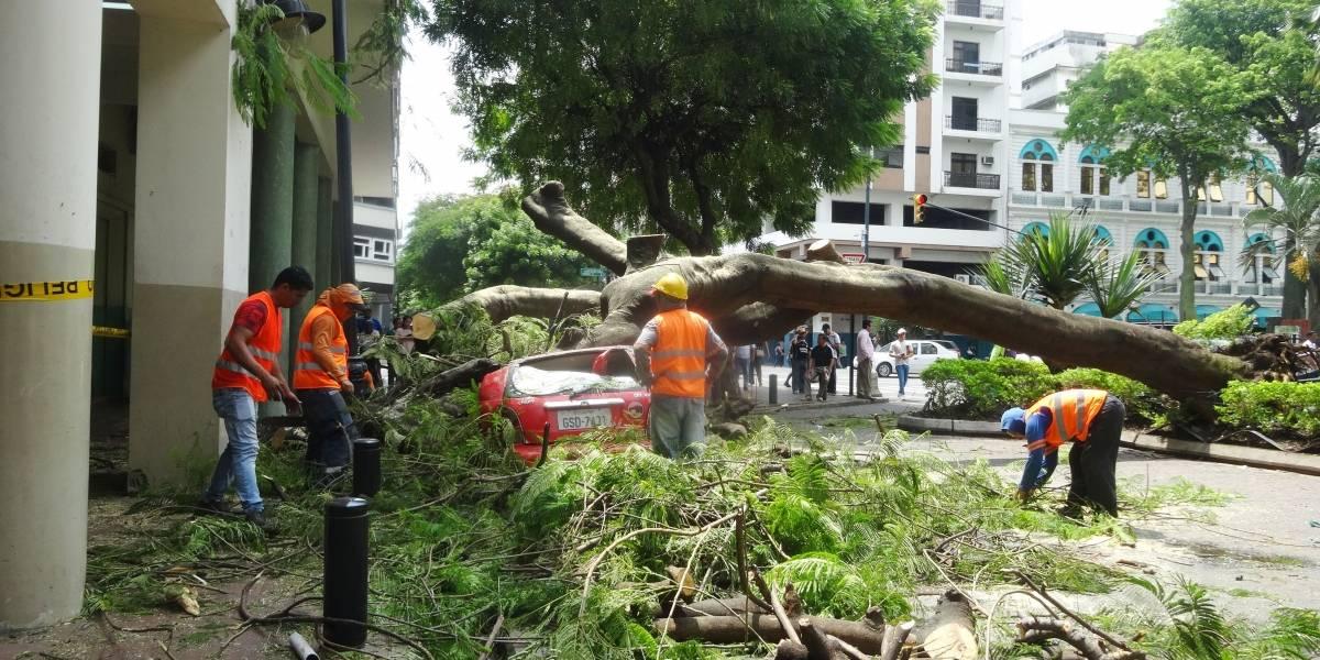 Indemnización llegará a dueño del vehículo que le cayó un árbol