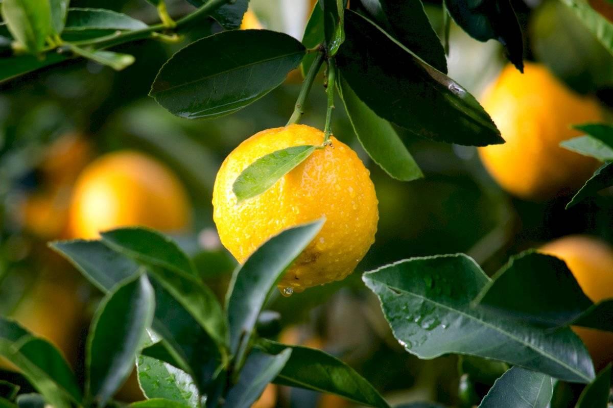 Los limones contienen un alto potencial de vitamina C