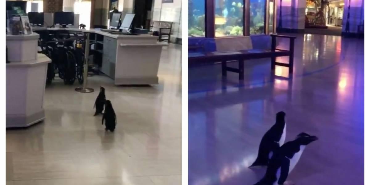 Em quarentena, aquário dos EUA deixa pinguins livres para explorar