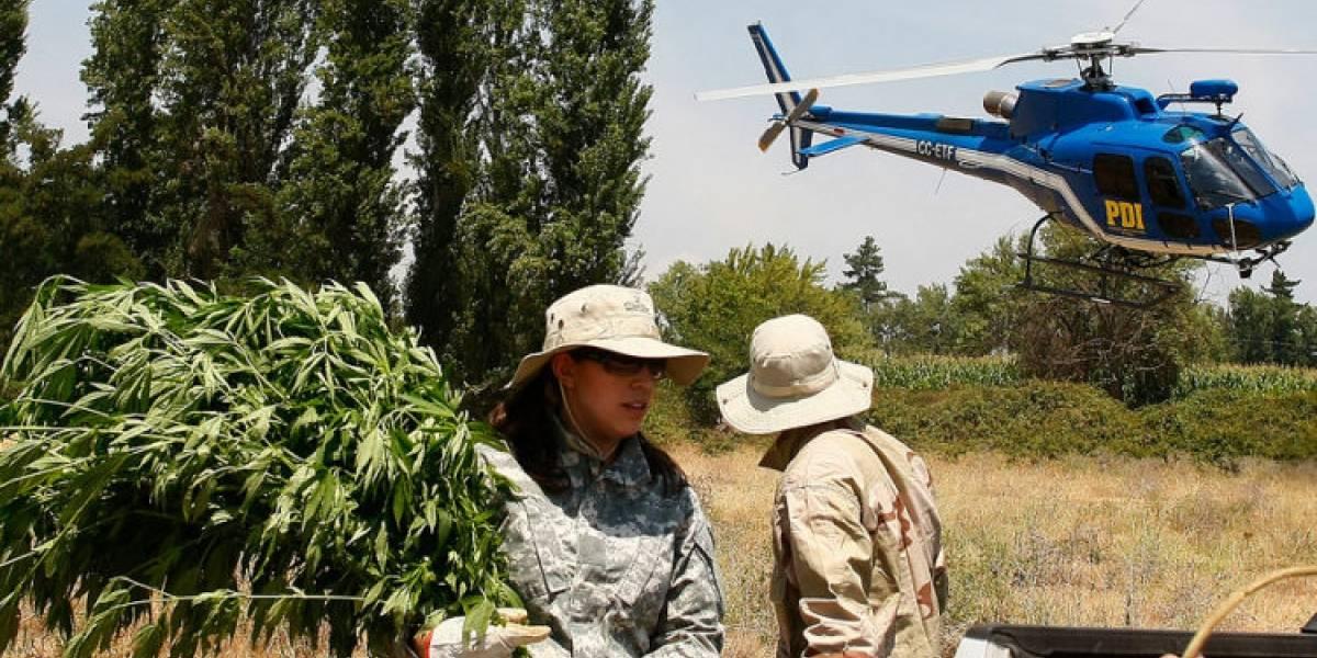 PDI confisca 1.197 plantas de marihuana de recinto militar en Linares