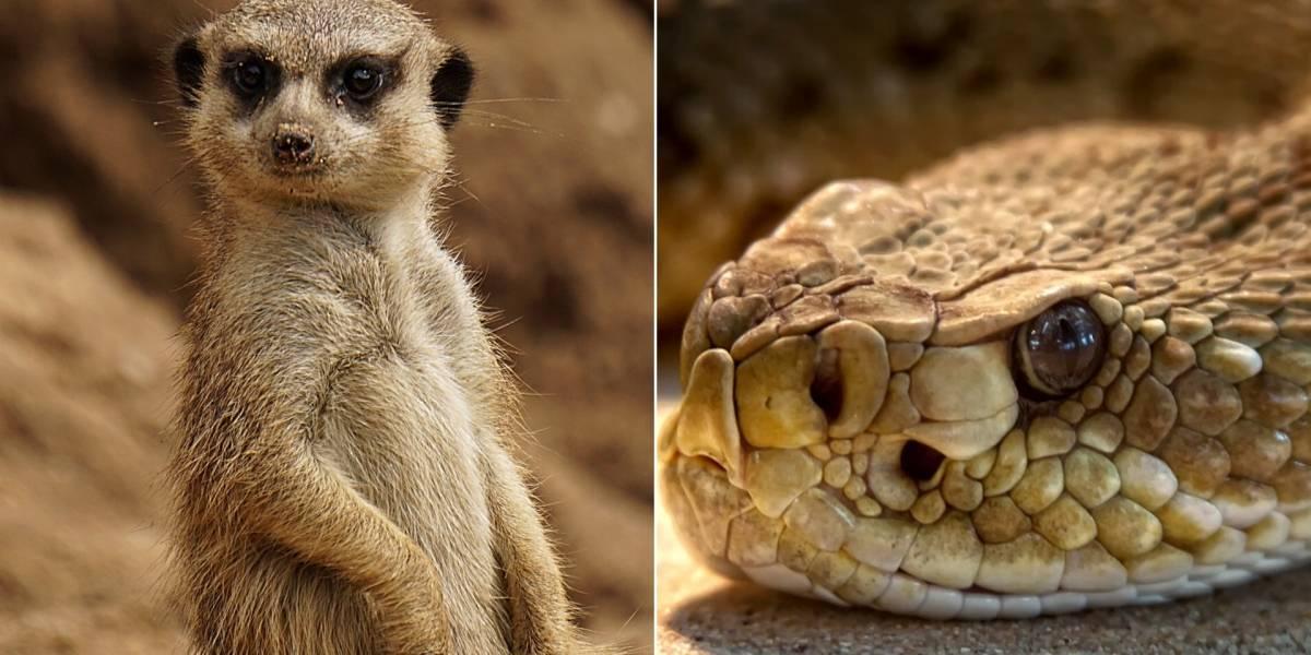 VÍDEO: Luta entre mangusto e cobra se torna viral nas redes sociais