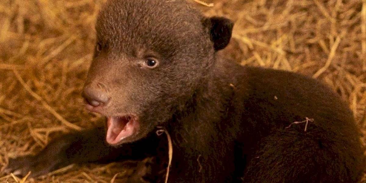 ¡Sorpresa! Zoológico La Aurora anunció el nacimiento de un osezno