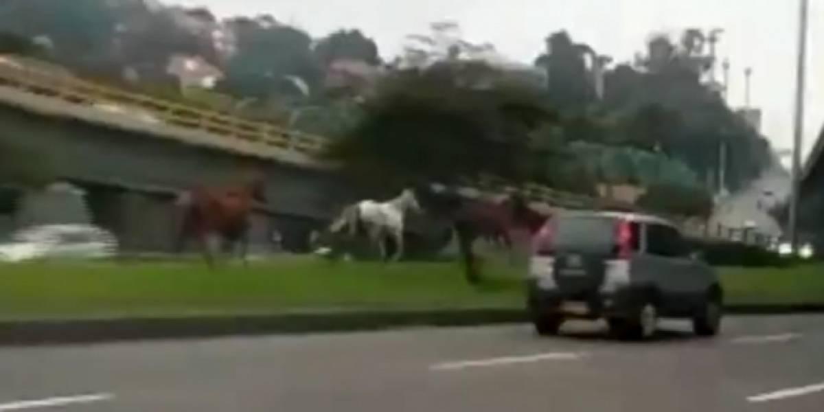 Sorpresa por caballos sueltos corriendo por importante vía del norte de Bogotá