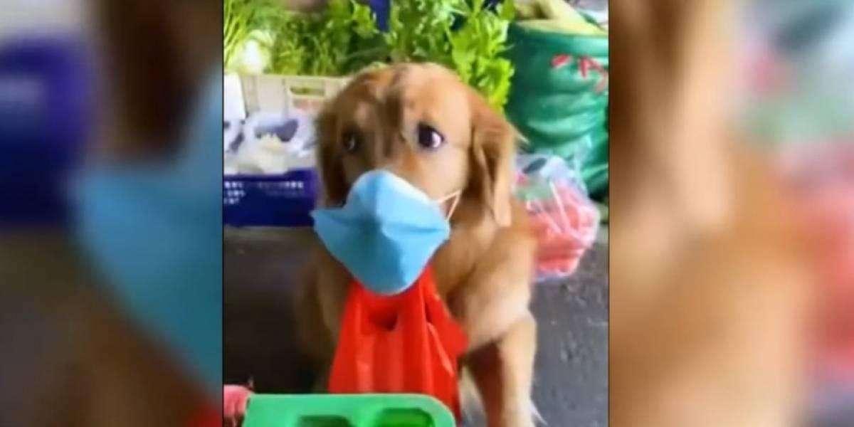 VÍDEO: com máscara de proteção, cachorrinho faz compras durante a quarentena