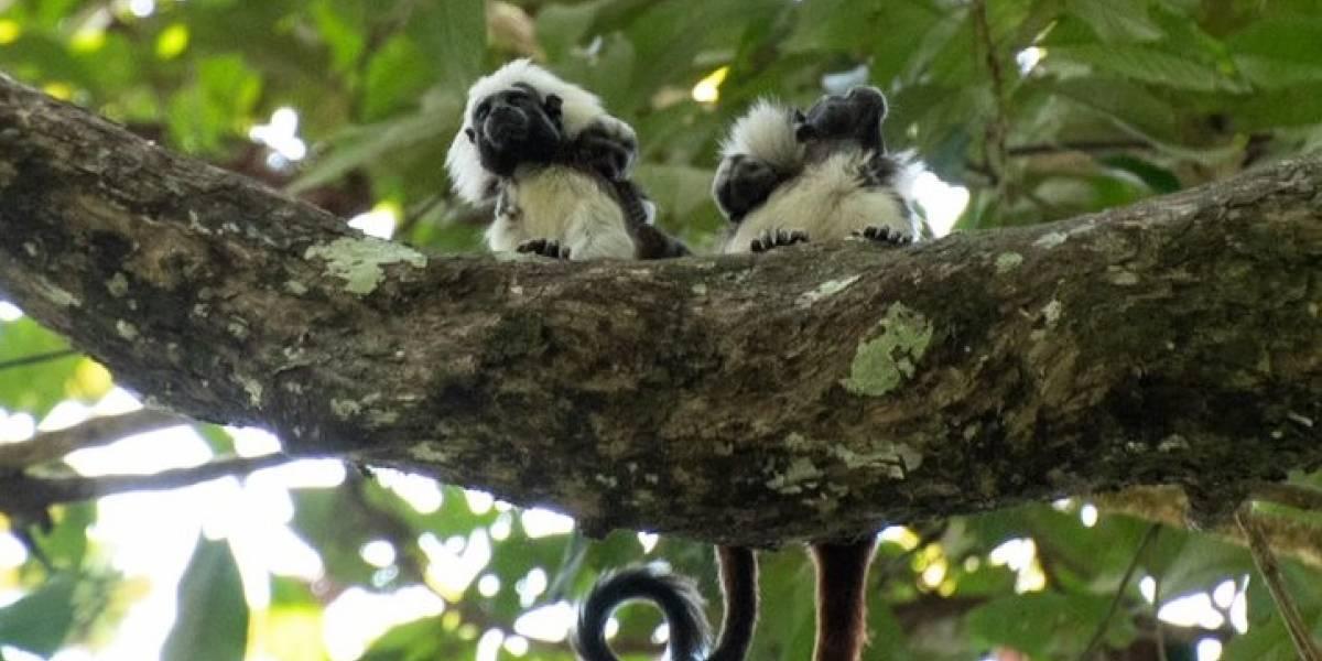 Titís cabeciblancos tuvieron dos crías luego de ser liberados en el Bajo Cauca